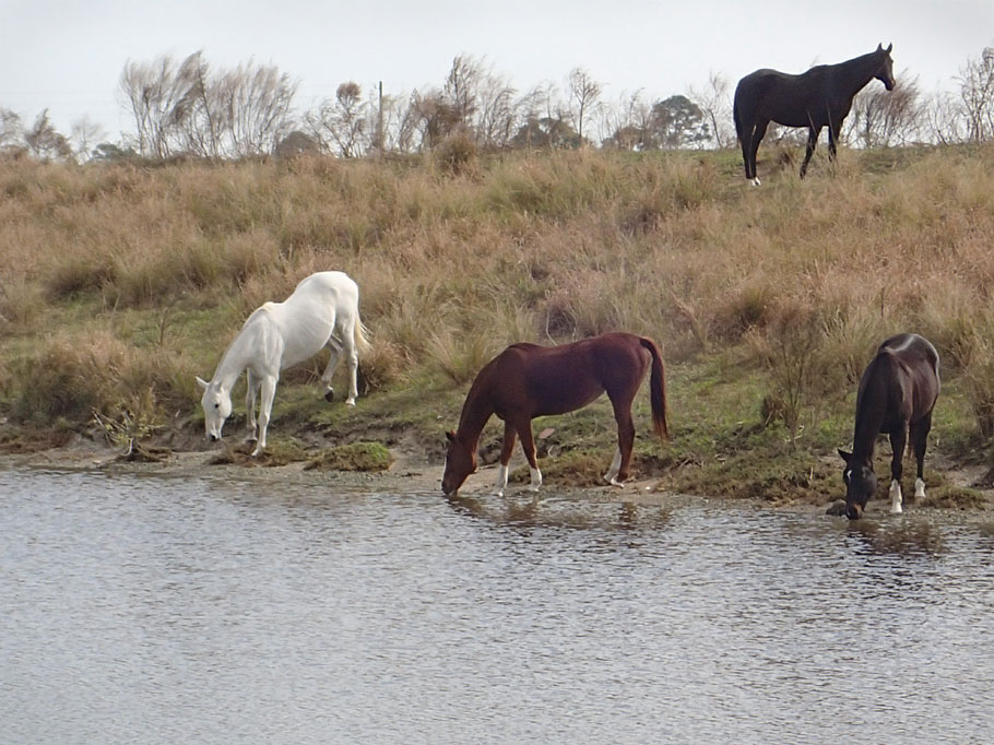 Horses come out for a drink along the Okeechobee Water Way.