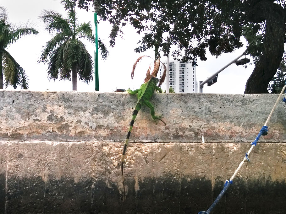 Iguana on the canal wall.