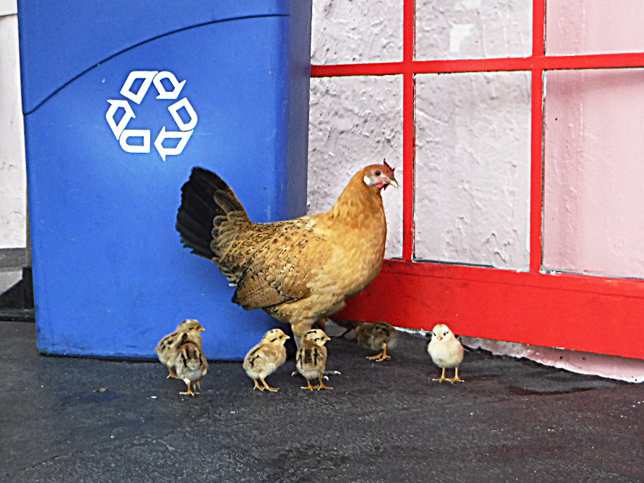 Mama and her chicks.
