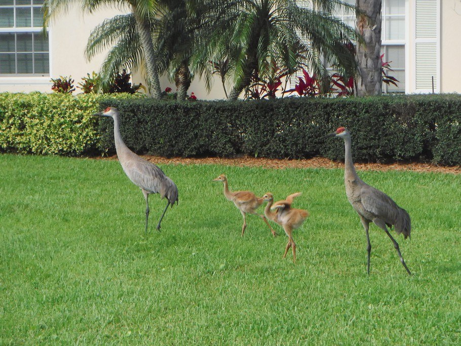 The local sand hill cranes have just had chicks.