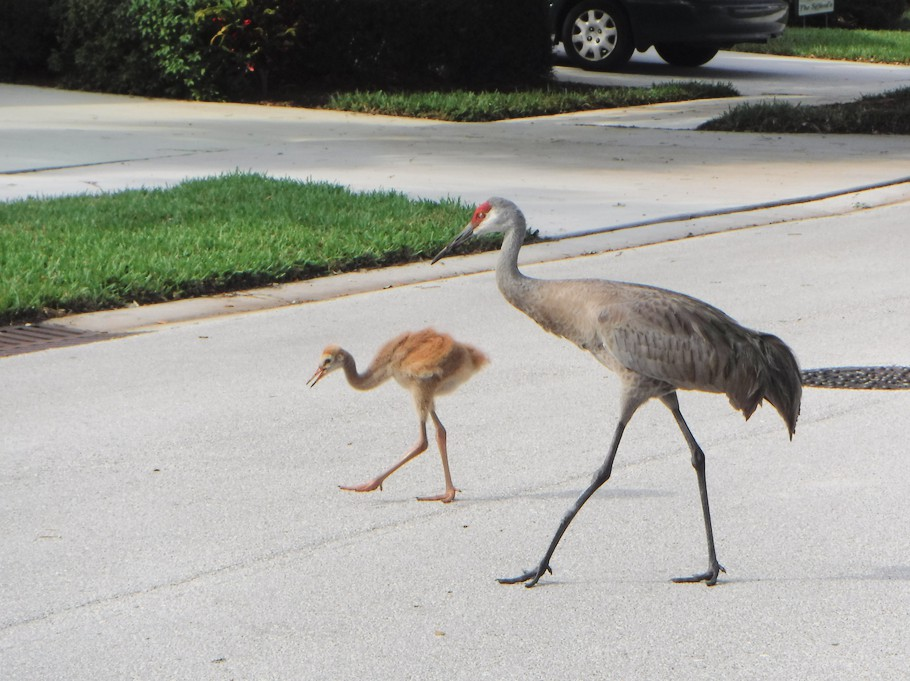 Sand hill crane and baby.