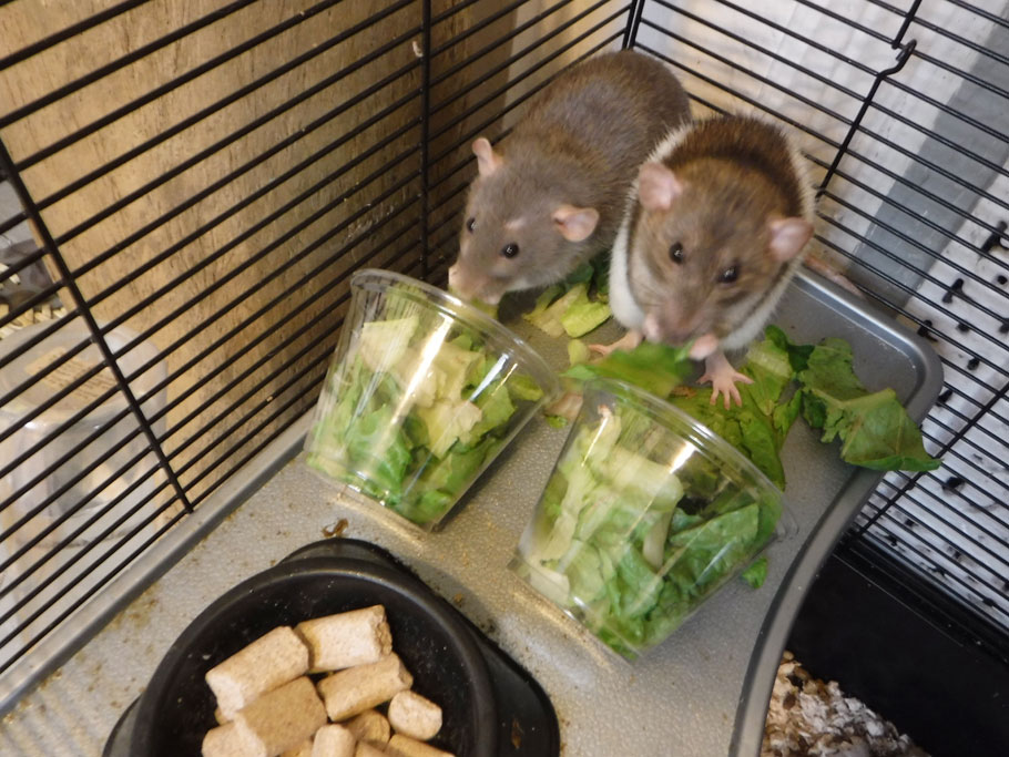 Buffy and Veronica love their vegan pellets, but they really loved this fresh lettuce I gave them.
