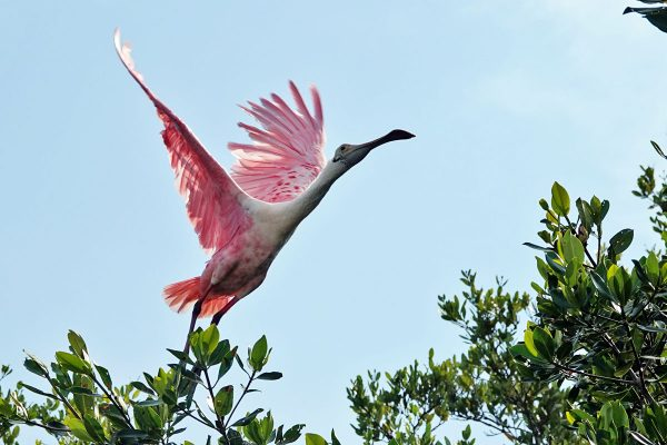 Roseate Spoonbill. The Roseate Spoonbill (and the Flamingo) get their pink coloration by ingesting canthaxanthin. You can buy canthaxanthin (tanning) pills to change your color, too. But it's likely you will turn out orange.